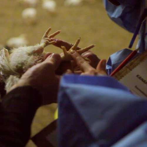 Kanapartio tarkasti kananpoikien elinolot