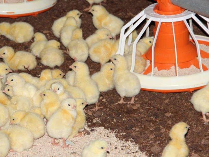 Kananpoikia ei lääkitä turhaan